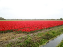 6. It was a (long and -somewhat- painful) 40-kilometre cycle around the city of Alkmaar, in drizzles and showers no less, but the tulip fields were gorgeous. We were a weekend late (perhaps even rarer than the Northern Lights), because some of the fields had been harvested or cleared, though the patches of pastels remained stunning. Along the way we stopped at quaint towns and cycled through the pristine countryside, and had a wonderful time.