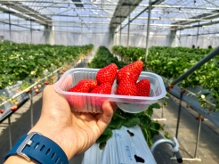 13. On a tour to Mount Fuji, we picked and savoured strawberries.