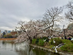 10. A few days later with my parents, even though the weather was more gloomy, the cherry blossoms were in bloom.
