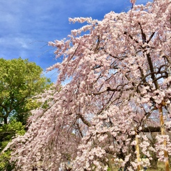 15. Cherry blossoms in the garden. As always, the view is made better by blue skies and good weather.