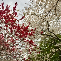 18. Red and white cherry blossoms on display.