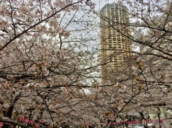 38. For some of the most spectacular views of the cherry blossoms in full bloom, the Meguro River Cherry Blossoms Promenade must be on one's itinerary. There may not be as many trees, but they are packed tightly together for many breathtaking sights.