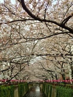 39. Cherry blossoms at the Meguro River Cherry Blossoms Promenade.