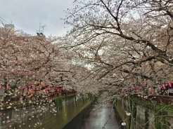 40. Cherry blossoms at the Meguro River Cherry Blossoms Promenade.