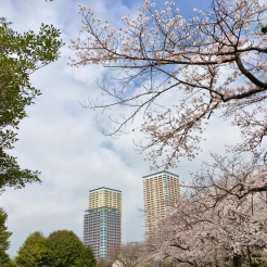 43. View of the cherry blossoms at the Yanaka Cemetery Park.